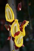 Ataco pitcher plant vine