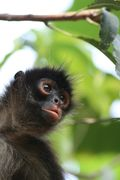 Don Miguel's spider monkeys 10