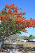 Tamarind in bloom 1