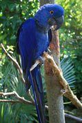 Hyacinth macaw 1- Gator Farm 12-3-2013