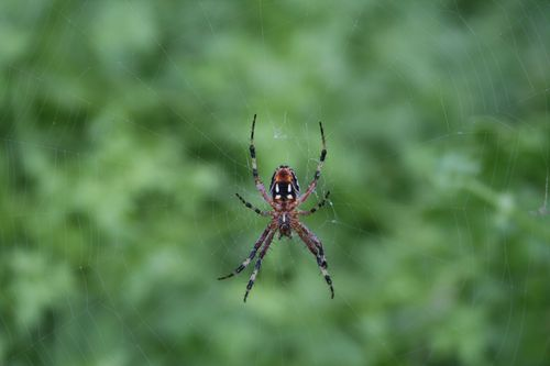 Agua Verde beach spider, 11-25-2009