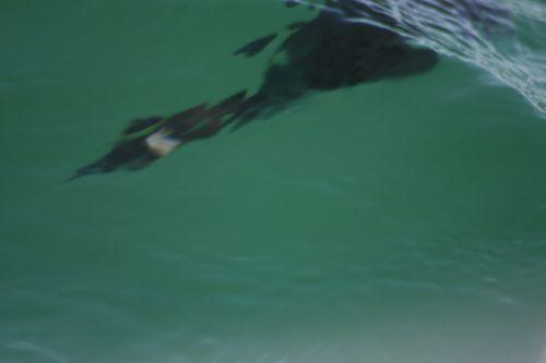 Bahia San Marcial -  eared grebe, diving 2-2009