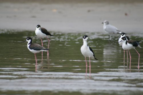 Black-necked stilts, Iguana Riv., Tenacatita 1-7-10