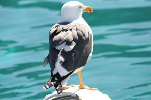 El Embudo yellow-legged gull 2 - return of Mooch