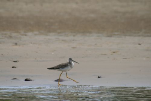 Greater yellowlegs, Iguana Riv., Tenacatita