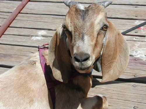 Macho the boat goat -  Santa Rosalia 4-28-2008