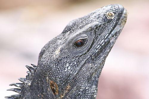 An Iguana of El Cid