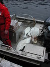 Savvy_fishermen_find_the_halibut_ca