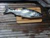 Chinook_salmon_quatsino_sound_bc_76