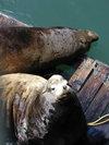 Newport_sea_lions_1
