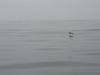 Brown_pelican_ano_nuevo_ca_8282007