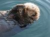 Monterey_adock_sea_otter_11
