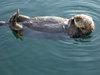Monterey_adock_sea_otter_6