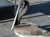 El_cid_young_brown_pelican