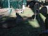 Mazatlan_yearling_deer_el_cid_resor