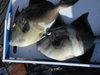Isla_isabela_triggerfish