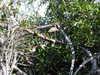 Matanchen_jungle_ride_limpkin