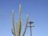 La_paz_costabaja_osprey_nest_cactus