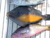 Orangeside_triggerfish_caleta_san_j