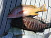Yellow_snapper_spotted_sea_bass_cal